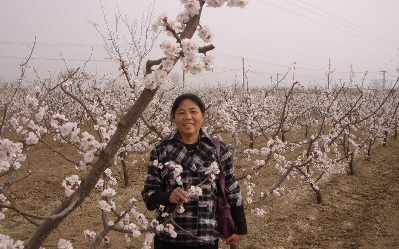 sakura-orchard